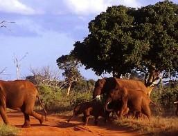BNEWSKenia-Tsavo N.P. elefanti